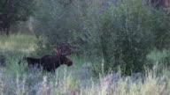 MS 4K shot of a bull moose (Alces alces) in velvet