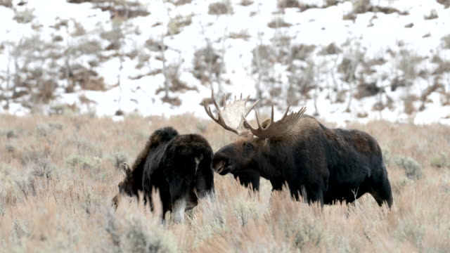 MS 4K shot of a bull moose (Alces alces) sniffing a cow during the rut