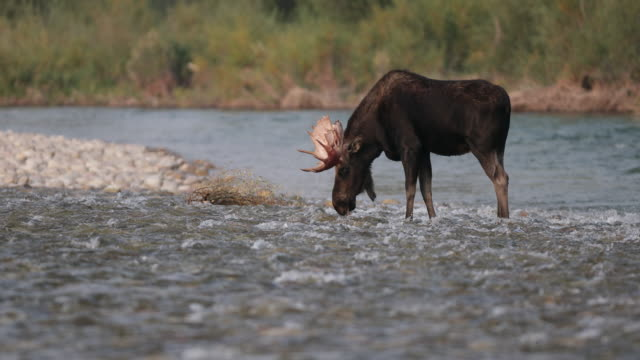 WS 4K shot of a bull moose (Alces alces) walking across the Snake River