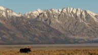 WS   shot of a bull moose (Alces alces) walking through the sagebrush flats in front of the Grand Tetons at sunrise