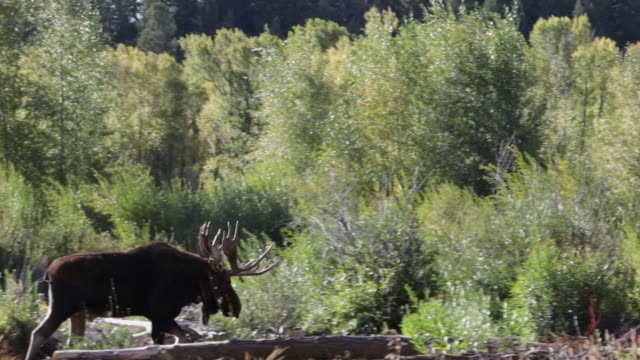 WS 4K shot of a bull moose (Alces alces) walking through the water with the fall colors in the background