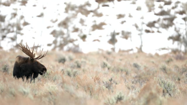 WS 4K shot of a bull moose (Alces alces) watching a cow during the rut