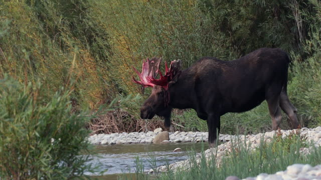 MS 4K shot of a bull moose (Alces alces) with bloody antlers drinking from the Snake River