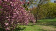 Shot of a cherry blossom tree in Central Park, NYC on a sunny spring day