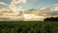 T/L 8K shot of a corn field at dusk