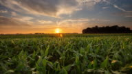 T/L 8K shot of a corn field at sunset