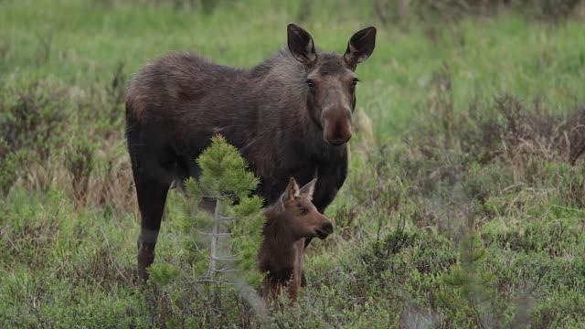MS  shot of a cow moose (Alces alces) and newborn calf grazing at dusk