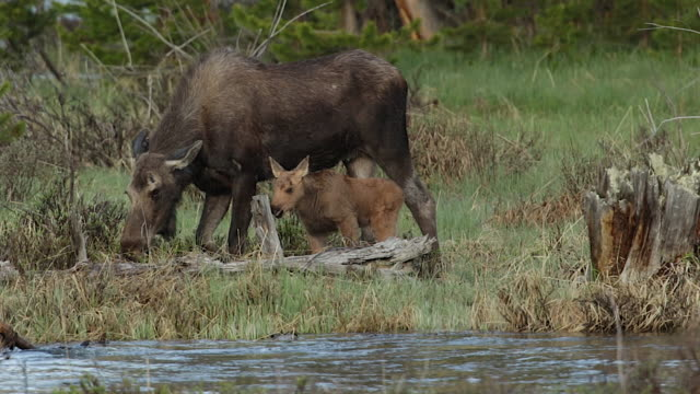 MS  shot of a cow moose (Alces alces) and newborn calf grazing at sunrise along the river