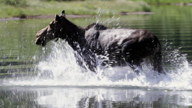 STS 4K shot of a cow moose (Alces alces) running through the water