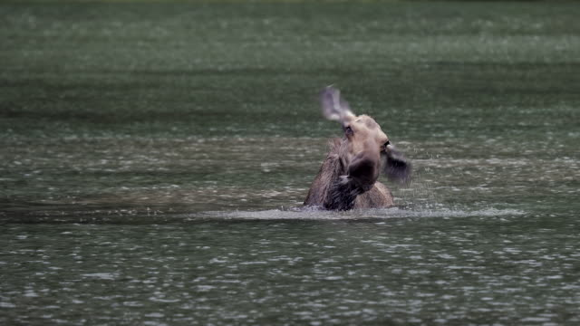 TS 4K shot of a cow moose (Alces alces) shaking her head to get the water out of her ears
