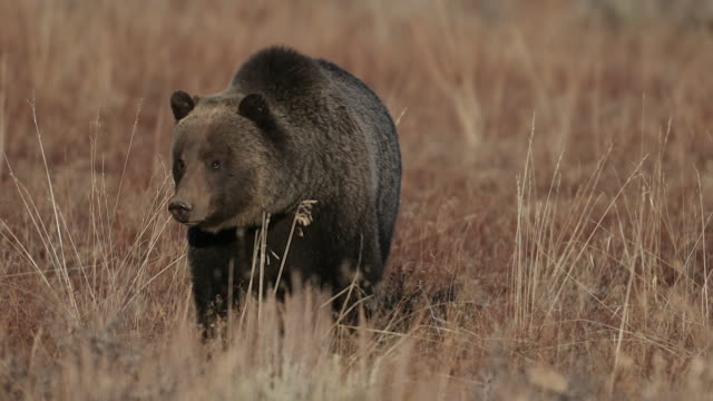 TS  4K shot of a dancing male grizzly bear  (Ursus arctos) walking toward the camera in a meadow