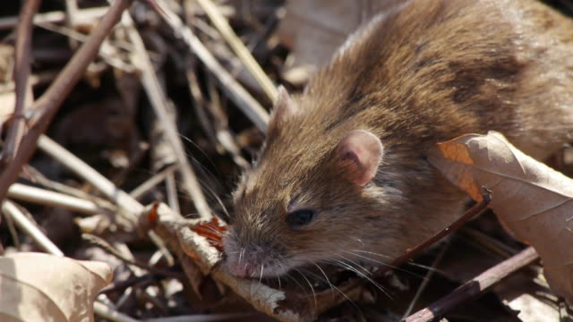 Shot of a field mouse and fallen leaves