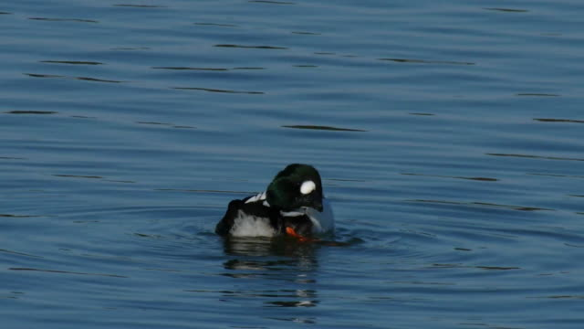 Shot of a goldeneye grooming and flapping on the river