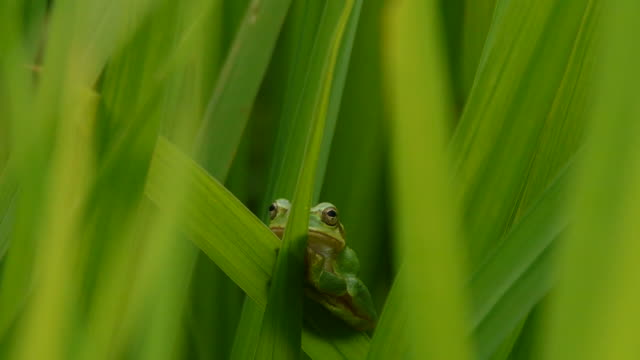Shot of a green frog on the blade of grass