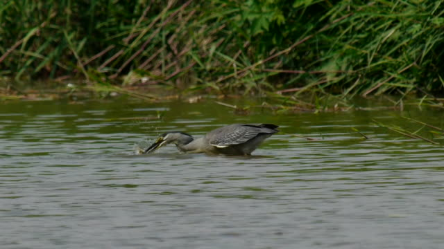 Shot of A green-backed heron hunting fish on the lake
