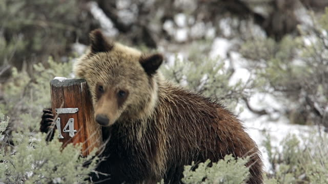 TS shot of a grizzly bear cub (Ursus arctos) rubbing on a campsite marker in the snow