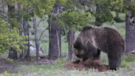 MS 4K shot of a grizzly bear (Ursus arctos) digging up an ant hill