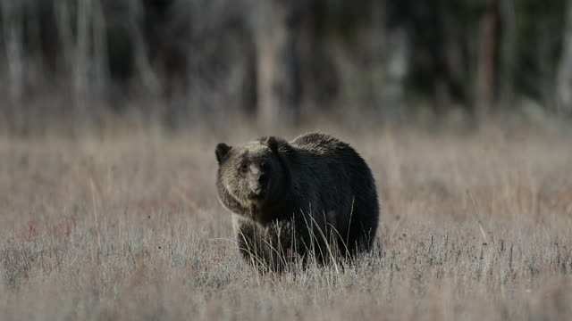 MS  4K shot of a grizzly bear sow  (Ursus arctos) walking toward the camera in a meadow