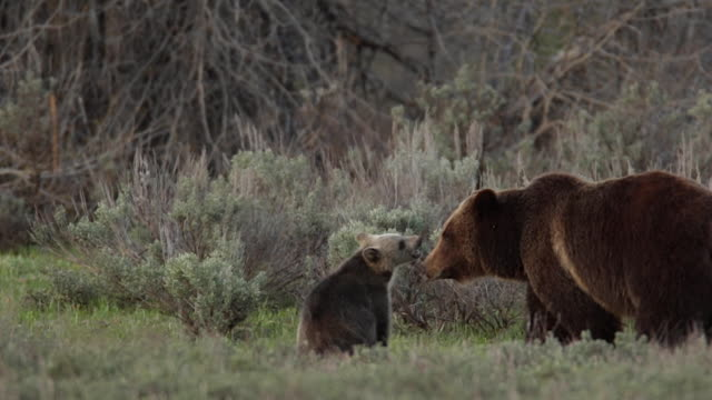 MS  shot of a grizzly bear  (Ursus arctos horribilis) sow with a cub of the year as they play with each other in the meadow