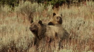 MS  shot of a grizzly bear  (Ursus arctos horribilis) sow with a cub standing up behind her