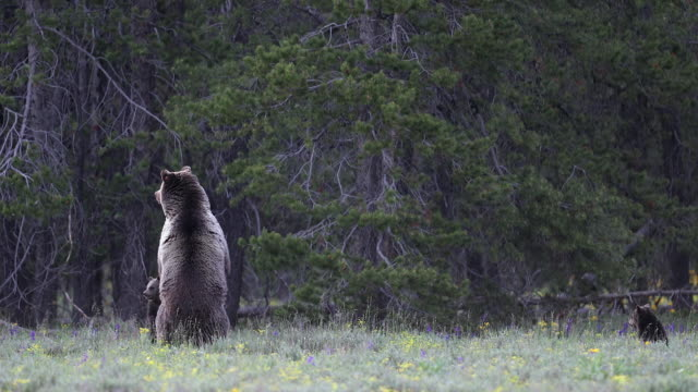 WS 4K shot of a grizzly bear (Ursus arctos) with 2 newborn cubs as mom stands up