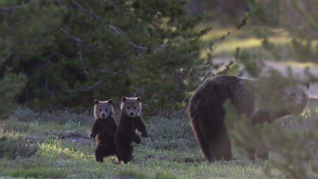 MS 4K shot of a grizzly bear (Ursus arctos) with 2 newborn cubs walking through the forest
