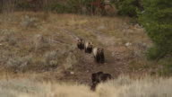 WS  shot of a grizzly sow and 2 cubs (Ursus arctos) walking towards a bison carcass while another sow feeds