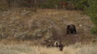 WS  shot of a grizzly sow  (Ursus arctos) waiting her turn to eat, as a sow with 2 cubs feed on the carcass