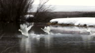 MS/SLOMO  shot of a group of trumpeter swans (Cygnus buccinator) taking off from a winter pond