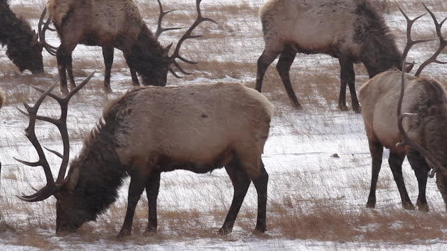 MS/PL  shot of a herd of large antlered bull elk (Cervus canadensis) grazing in a blizzard