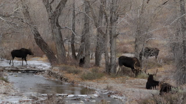 WS shot of a herd of moose (Alces alces) crossing a stream during the rut