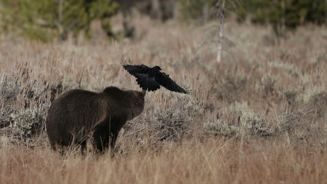 MS  4K shot of a huge grizzly bear (Ursus arctos) confronting a raven in a sagebrush meadow