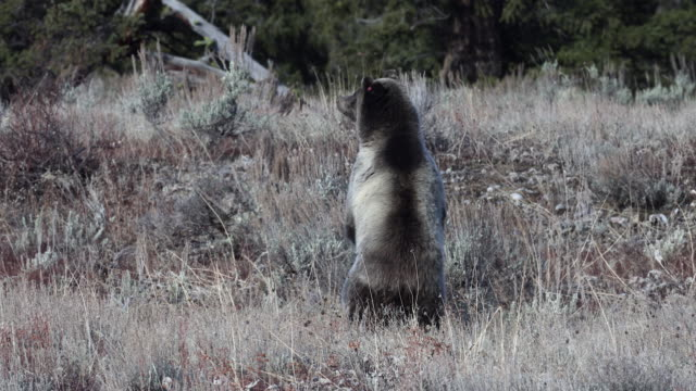 WS  4K shot of a huge grizzly bear (Ursus arctos) standing up and looking in a sagebrush meadow