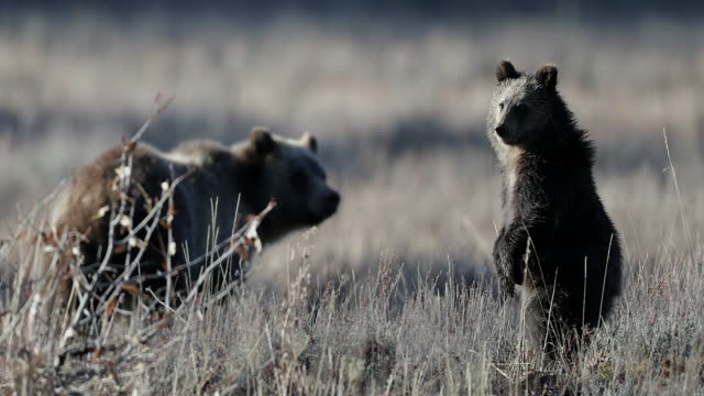 MS  4K shot of a huge grizzly bear (Ursus arctos) with her cub standing up and looking in a sagebrush meadow