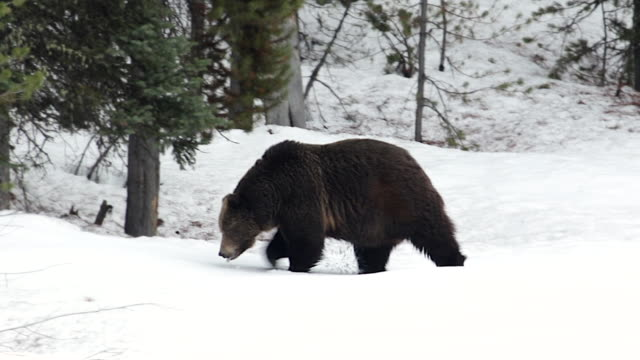 MS shot of a large 600lb male grizzly (Ursus arctos) walking through the fresh spring snow