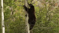 MS  shot of a large black bear  (Ursus americanus) climbing up an aspen tree