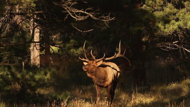 MS  shot of a large bull elk (Cervus canadensis) bugling in the forest at sunrise