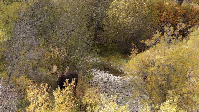 WS  shot of a large bull moose (Alces alces) standing by a stream in the fall colors