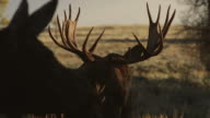 MS/TS  shot of a massive bull moose (Alces alces) in the rut, being approached by a cow moose at sunrise
