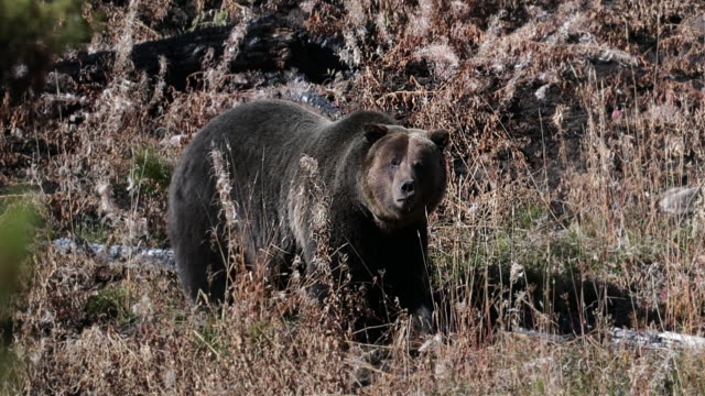 MS  4K shot of a massive male grizzly bear (Ursus arctos) grazing on a hillside