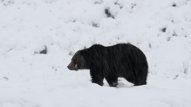 MS  4K shot of a massive male grizzly bear (Ursus arctos) walking through the snow in a blizzard