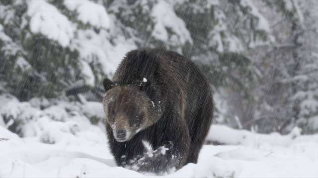 TS  4K shot of a massive male grizzly bear (Ursus arctos) walking toward the camera in a blizzard