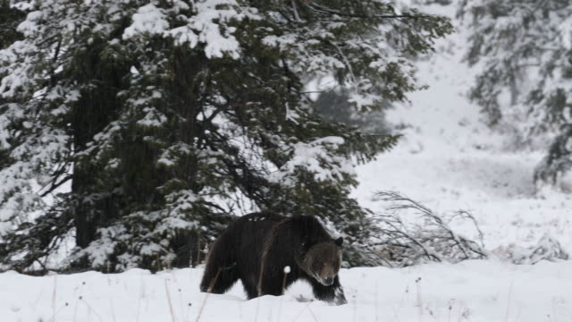 WS  4K shot of a massive male grizzly bear (Ursus arctos) walking toward the camera in a blizzard