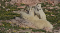 MS shot of a mountain goat nanny with her baby/kid standing on her back in a field of wild flowers