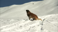 Shot of a mountain rescue dog running across a snowy landscape.