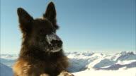 Shot of a mountain rescue dog.