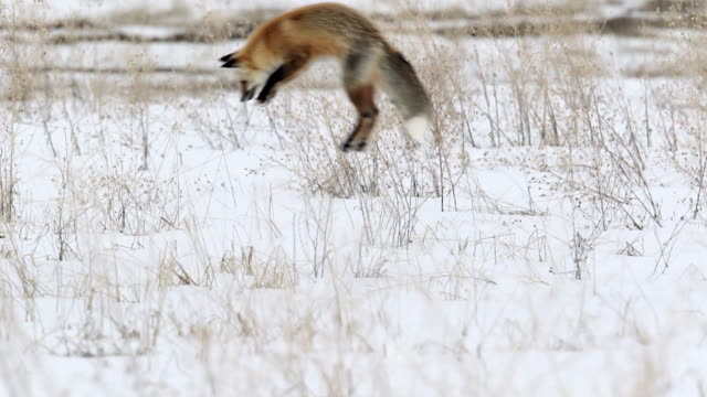 MS shot of a red fox (Vulpes vulpes) pouncing/hunting in the snow
