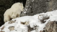 MS  shot of a rocky mountain goat (Oreamnos americanus) shaking off while standing on a rock ledge