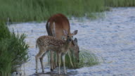 MS 4K shot of a White-tailed deer (Odocoileus virginianus) with fawn, playing in the water