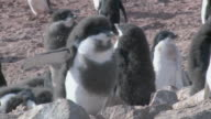 MS TS Shot of Adelie Penguin (Pygoscelis adeliae) adolescent chick with walking / Antarctica